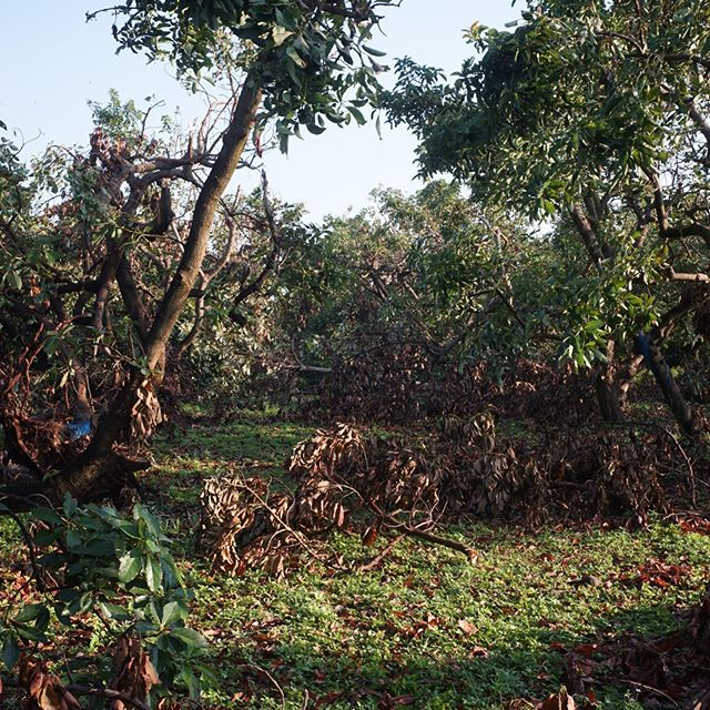 The new normal light level in the avocado grove is in stark contrast to the old. #avocado #aguacate #hurricaneirma #farmdamage #Irma #groworganically #freshfromflorida #redlandraised #homestead #miami