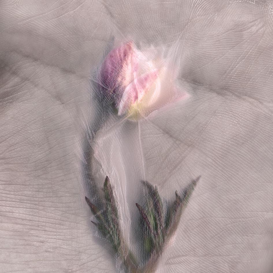 SKIN Anemone sylvestris.jpg