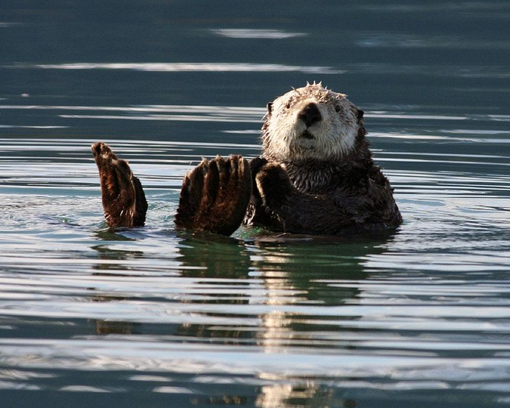 sea-otter-1432794_960_720.jpg
