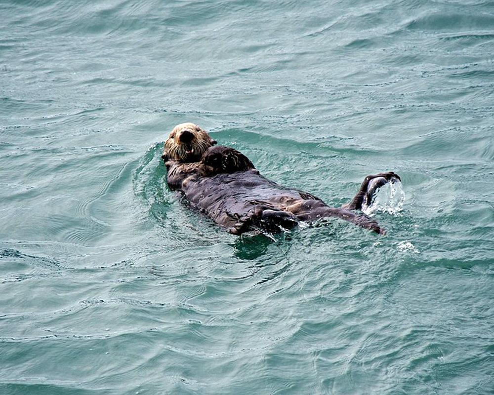 sea-otter-1992876_960_720.jpg