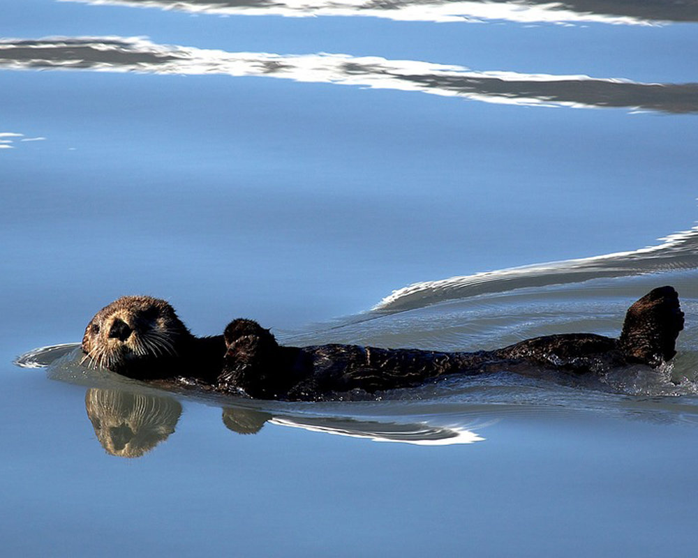 sea-otter-1405970_960_720.jpg