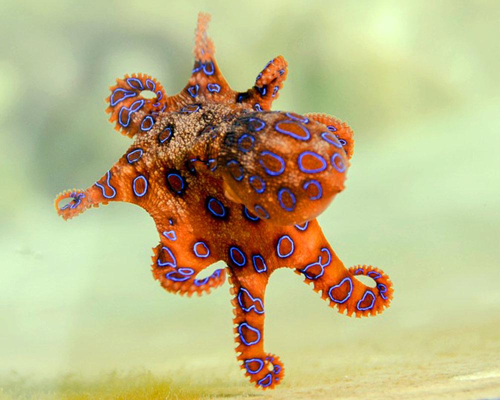 blue-ringed-octopus-2414408_960_720.jpg