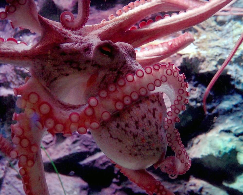 octopus-1638076_960_720.jpg