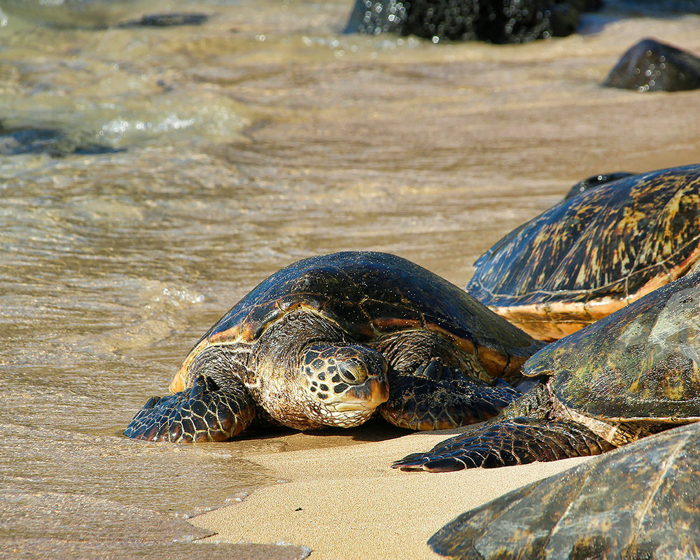 Daisy and Otto - Children's Book - Learning about green sea turtles turtle-3127243_1920.jpg