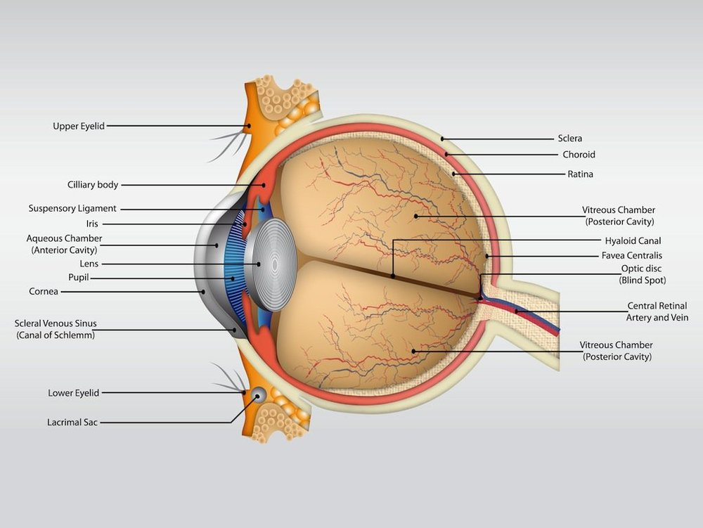 Eye Anatomy Ozarks Family Vision Centre