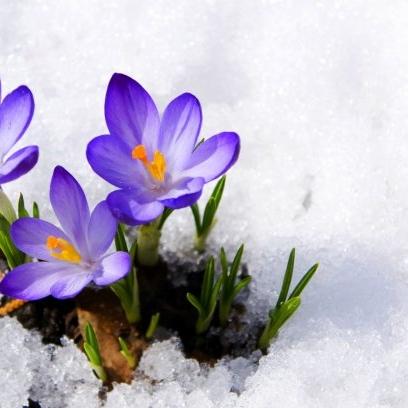 crocuses-buds-snow_315263767.jpg