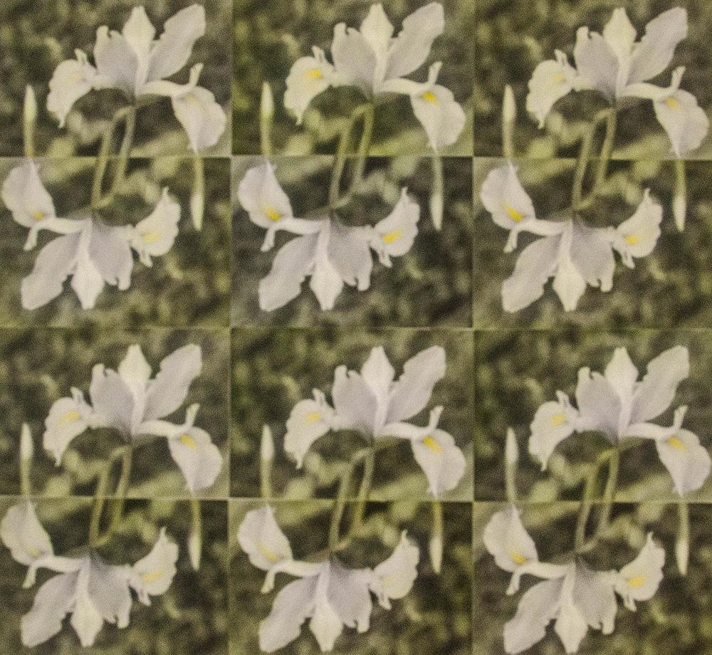 "Iris  16 1/2"" x 17 1/2"""