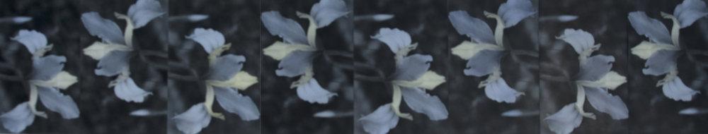 """Iridiceae  13"""" x 38"""""""
