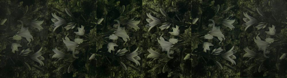 """Lilium Alba  15"""" x 36"""""""