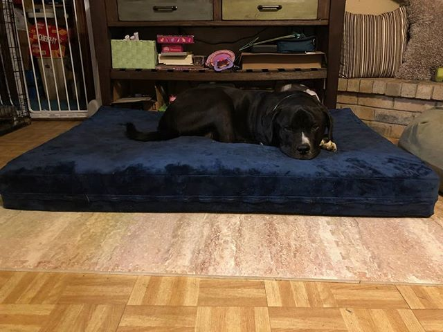 """Walt, the Mastiff king enjoying his new XXL Cooling gel memory foam pet mattress! 40"""" W x 55"""" L x 6"""" Extra thick! Happy doggie!!"""