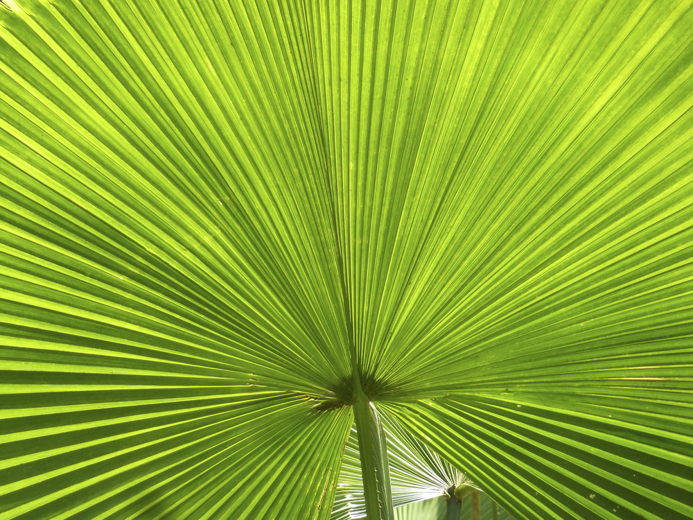 Inotim Palm Frond.