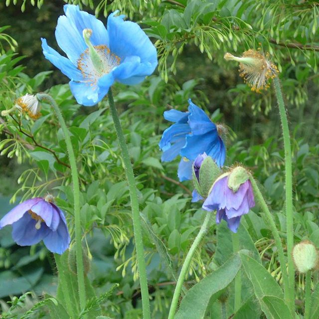 "Hello Blue Poppies, the ""talk"" of the RHS Chelsea Flower Show. 💙💜 . . . . . #RHS #ChelseaFlowerShow #poppies #meconopsis #plants #colors #colours #contrast #ihavethisthingwithcolor  #ChelseaFlowerShow2018"