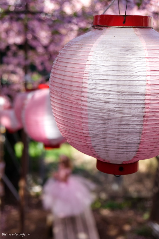 Miura kaigan sakura festival