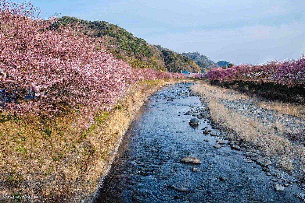 Kawazu sakura festival