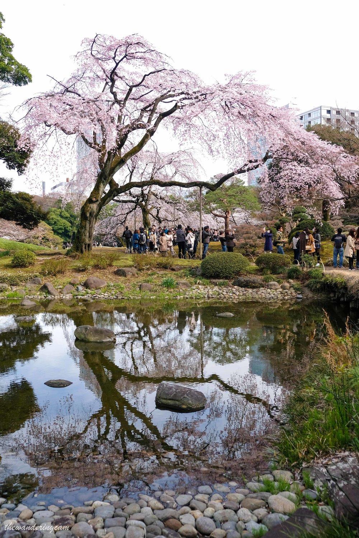 thewanderingcam_tokyo_sakura_koishikawa korakuen-8635.jpg