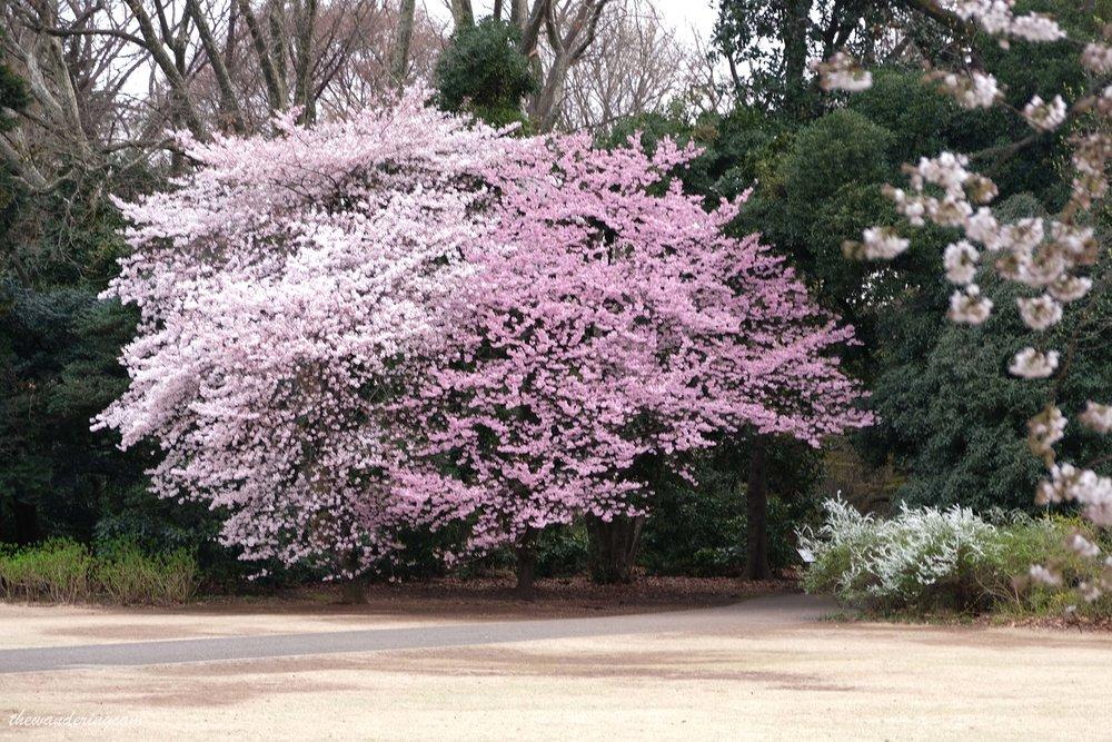 thewanderingcam_tokyo_sakura_shinjukugyoen-8681.jpg