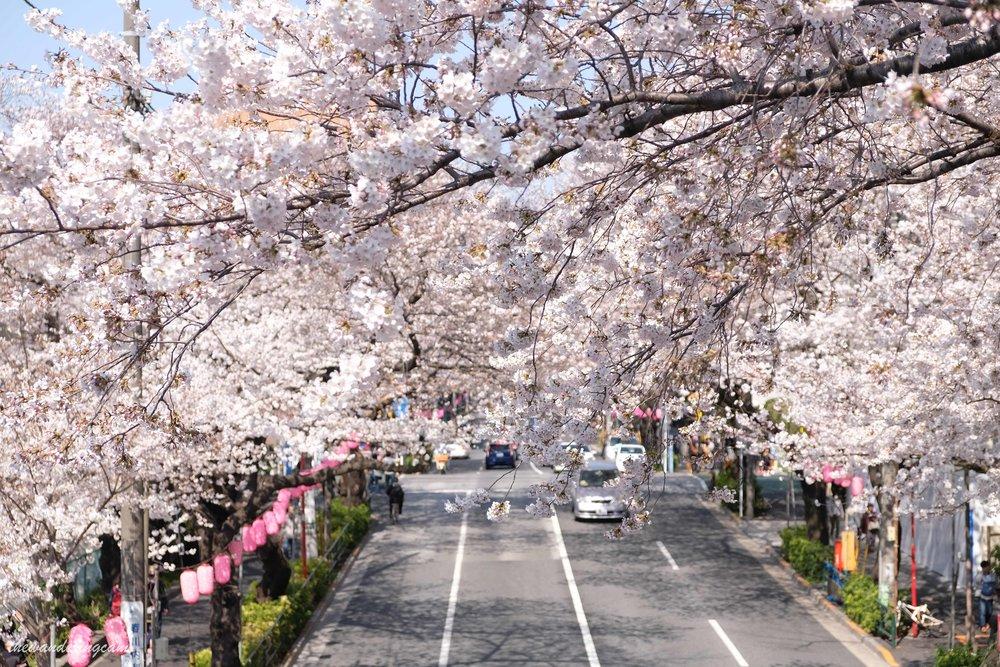 thewanderingcam_tokyo_sakura_nakano-8768.jpg