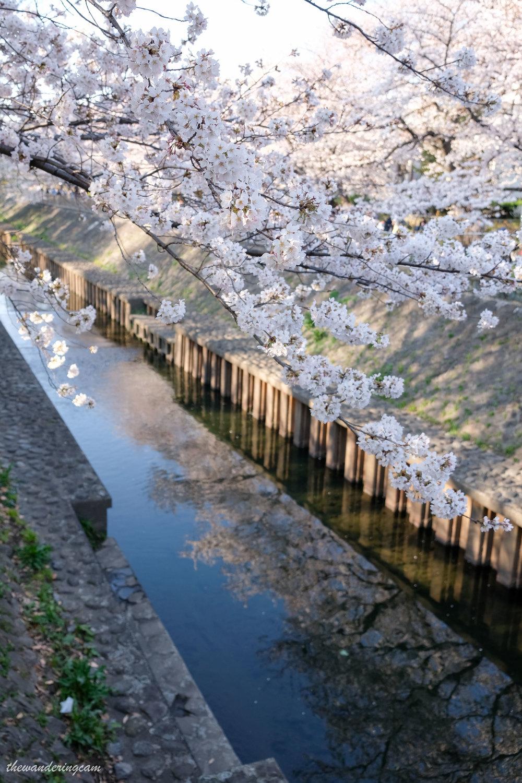 thewanderingcam_tokyo_sakura_suginami-8856.jpg
