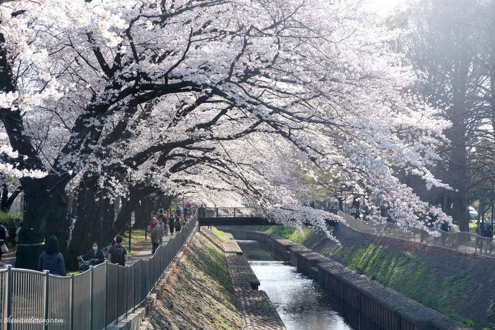 thewanderingcam_tokyo_sakura_suginami-8845.jpg
