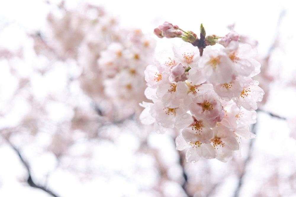 thewanderingcam_tokyo_sakura_cherryblossoms-1072.jpg