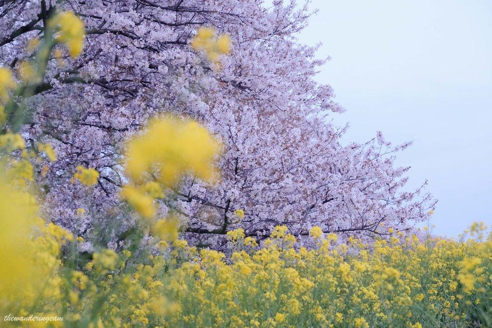 thewanderingcam_sakura_kumagaya-0156.jpg