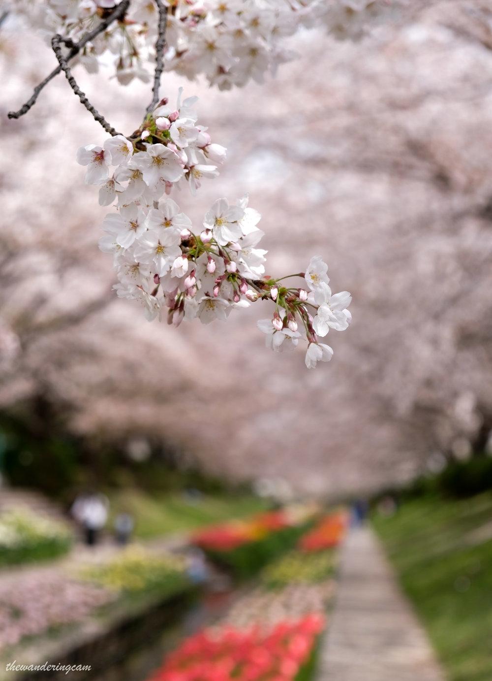 thewanderingcam_yokohama_hanami-0273.jpg