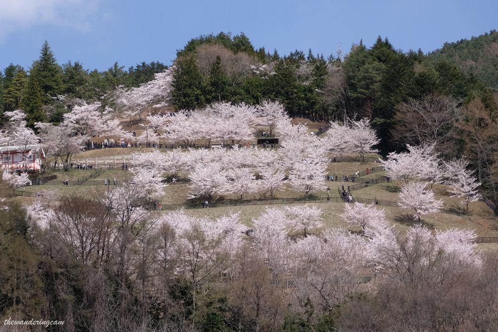 thewanderingcam_chureito pagoda_sakura-0786.jpg