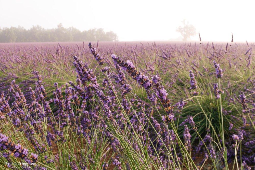 thewanderingcam_valensole_provence_lavender_sunflower-5661.jpg