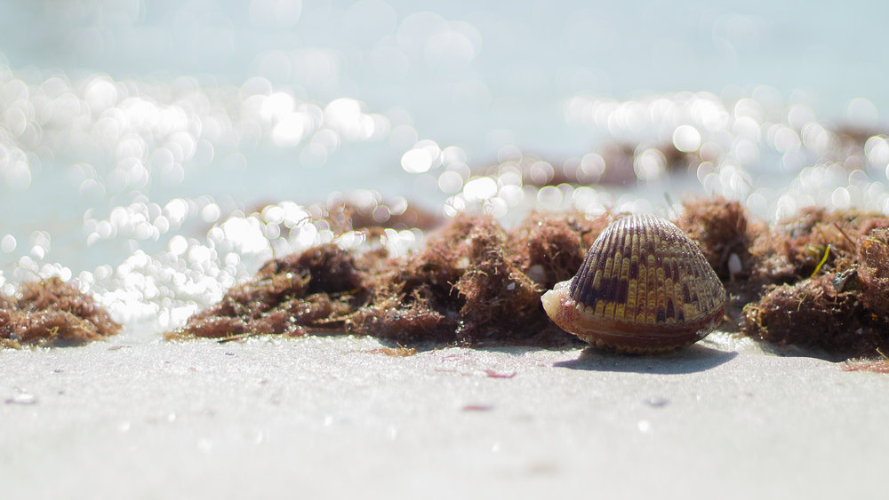 A beautiful live clam that washed up on the shore of Clearwater Beach, FL