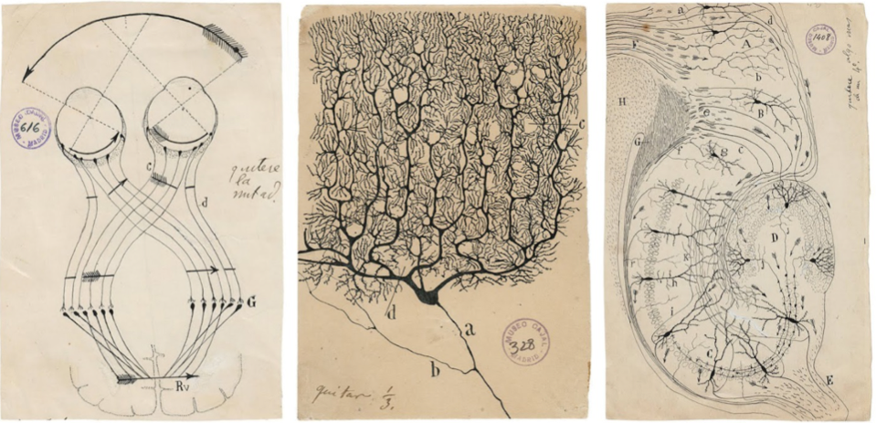 Santiago Ramón y Cajal (1852–1934) illustrations of brain cells)