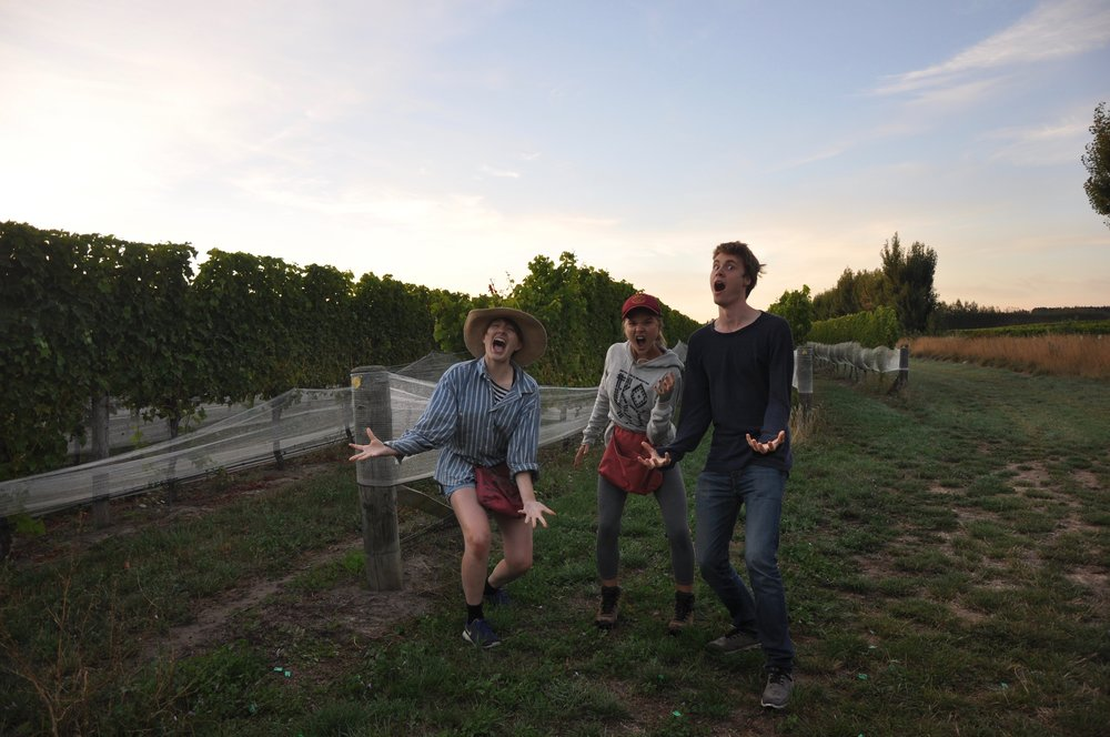 Tre fina vänner på vårt vingårdsjobb i Blenheim