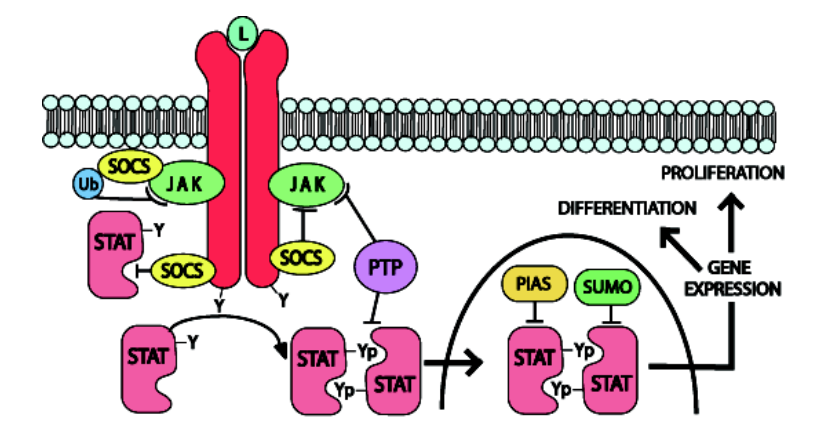 The Jak-STAT pathway