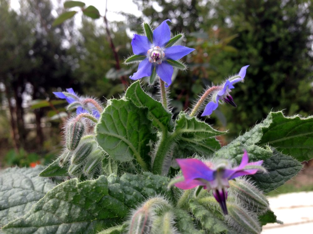 Forage for Borage  -