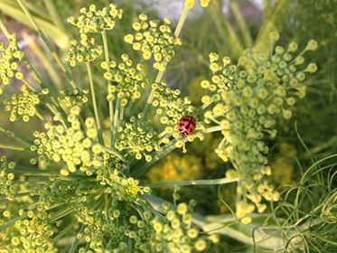 Lady bug is a beneifical bug for organic garden. -