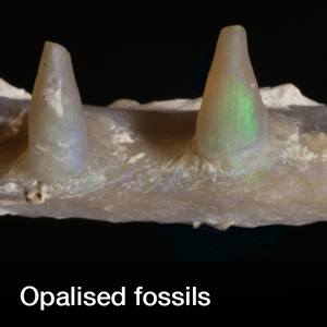 opalised_fossils_widget.jpg