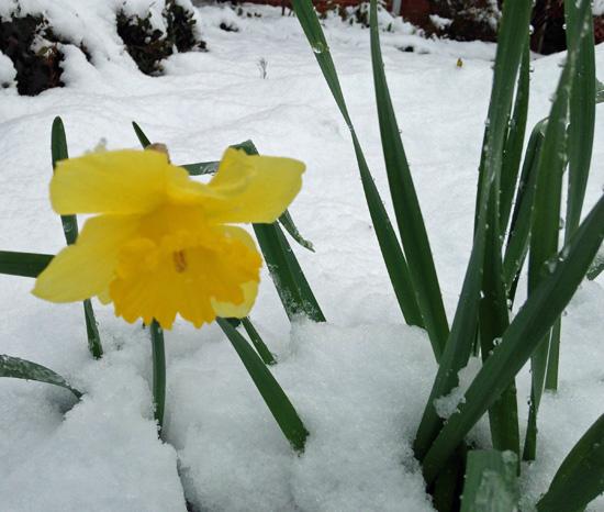 daffodil & snow