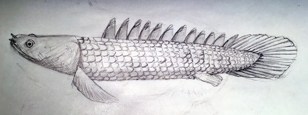Polypterus_sp_6_11_2017.png