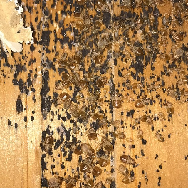 Findings behind a baseboard during an eco friendly,  vacuum and steam treatment for bedbugs.