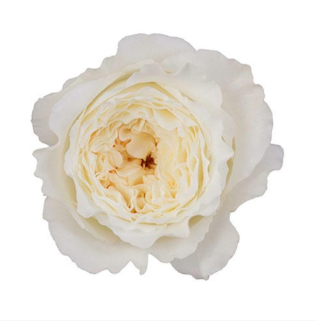 David Austin Patience garden rose