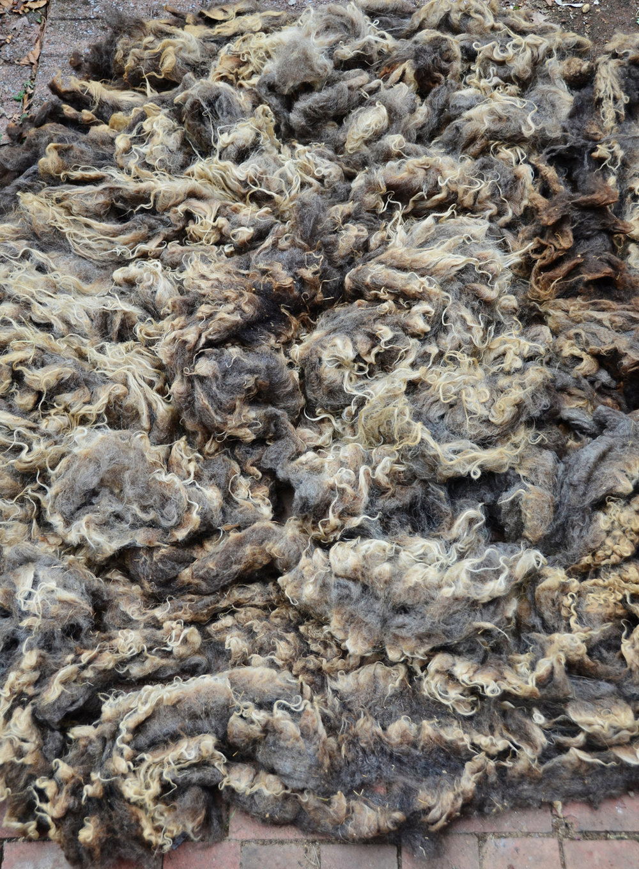 Shetland Wool Fleece © 222 Handspun