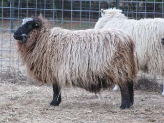 "Shetland Sheep ""Kalmia""    Photo courtesy of Sycamore Farms"