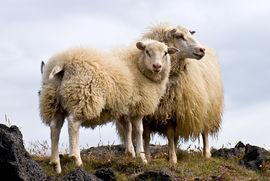Icelandic sheep  (Wikipedia)