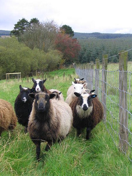 Shetland Sheep  (from Wikipedia)