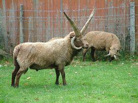 Manx Loaghtan sheep Ramsey, Isle of Man  (Wikipedia)
