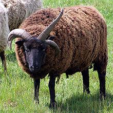 Three-Horned Hebridean sheep  (Wikipedia)