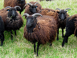 A flock of Hebridean sheep  (Wikipedia)