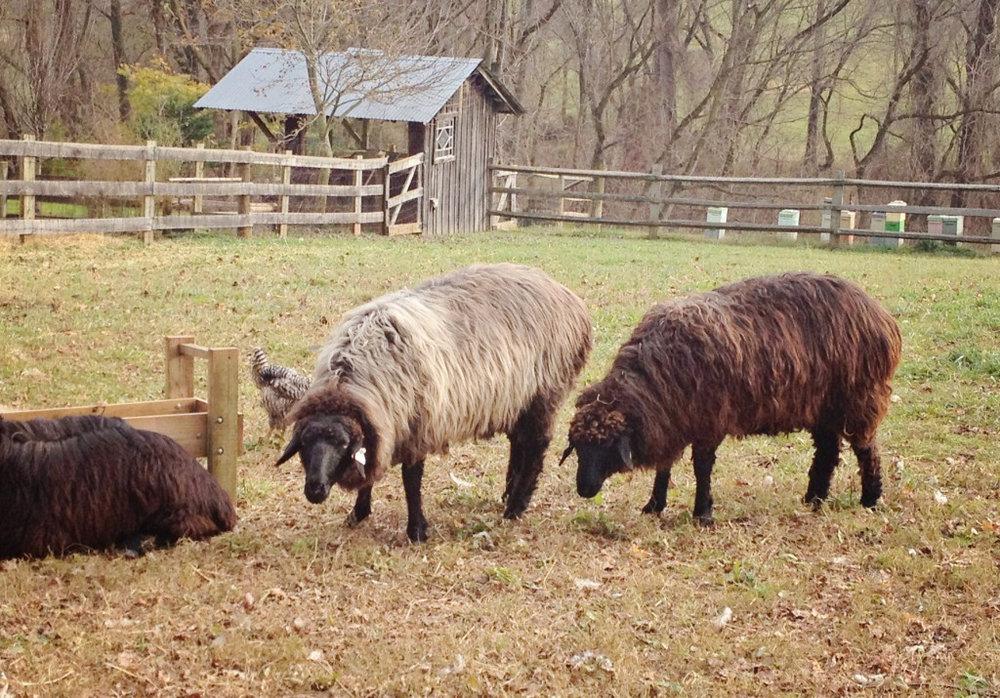 Karakul Sheep at RedGate Farm
