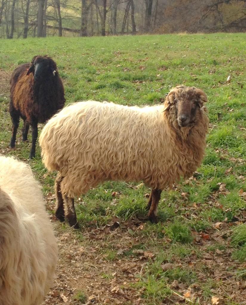 Horned Karakul Sheep