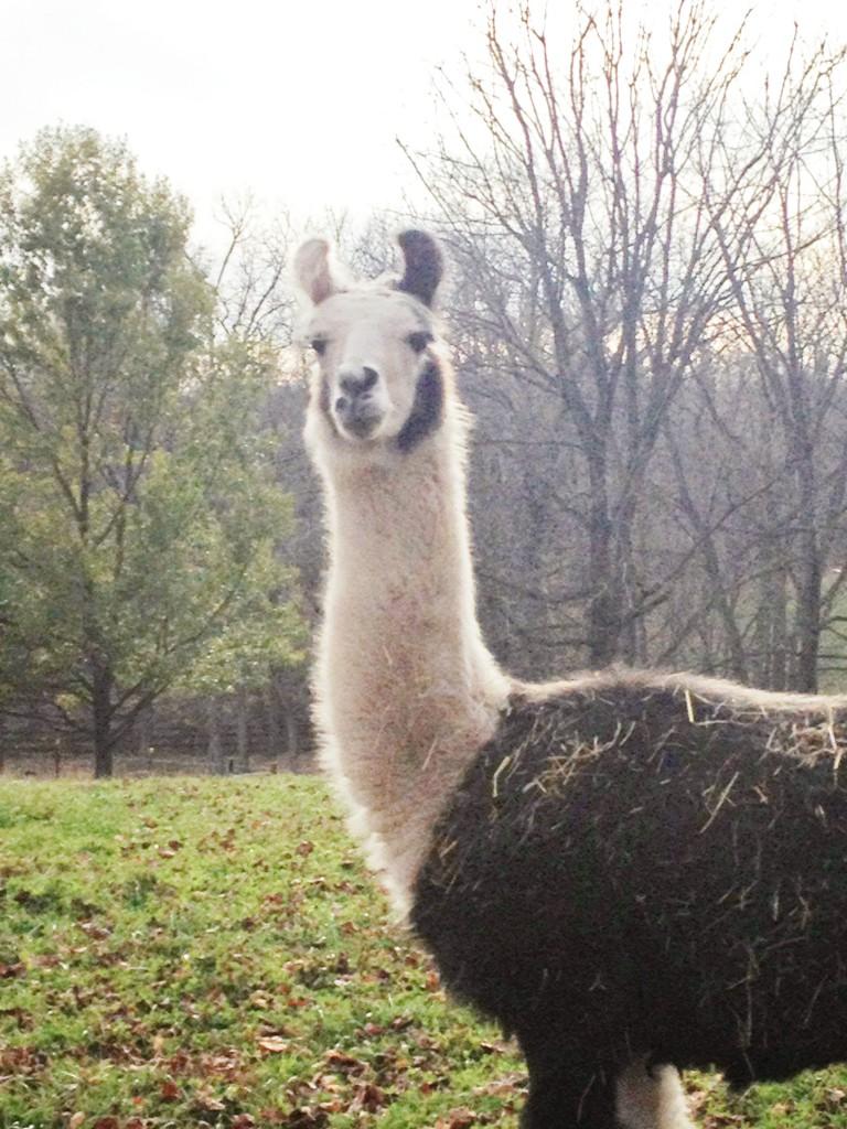 Llama at RedGate Farm
