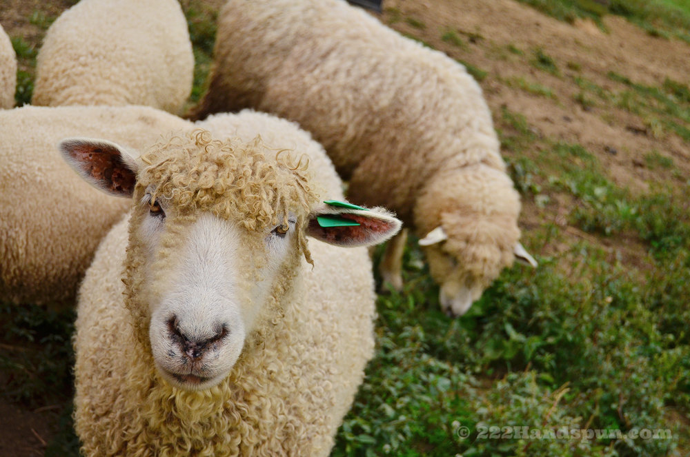 Cotswold Sheep © 222 Handspun
